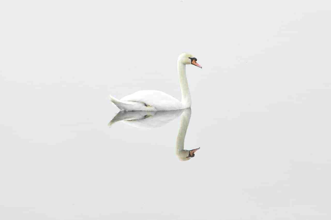swan-293157_1280